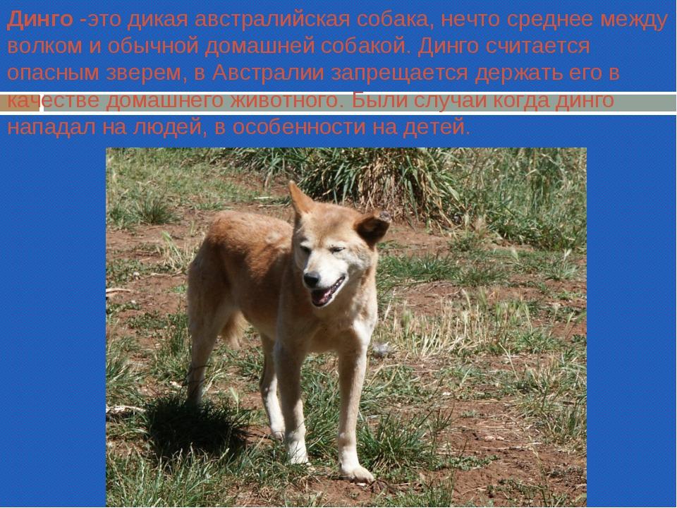 Динго -это дикая австралийская собака, нечто среднее между волком и обычной д...