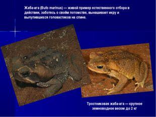 Тростниковая жаба-ага — крупное земноводное весом до 2 кг Жаба-ага (Bufo mari