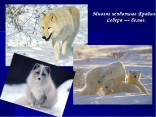Многие животные Крайнего Севера — белые.