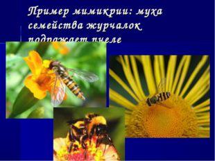 Пример мимикрии: муха семейства журчалок подражает пчеле