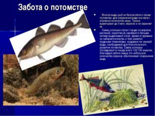 Забота о потомстве Многие виды рыб не беспокоятся о своем потомстве, для сохр