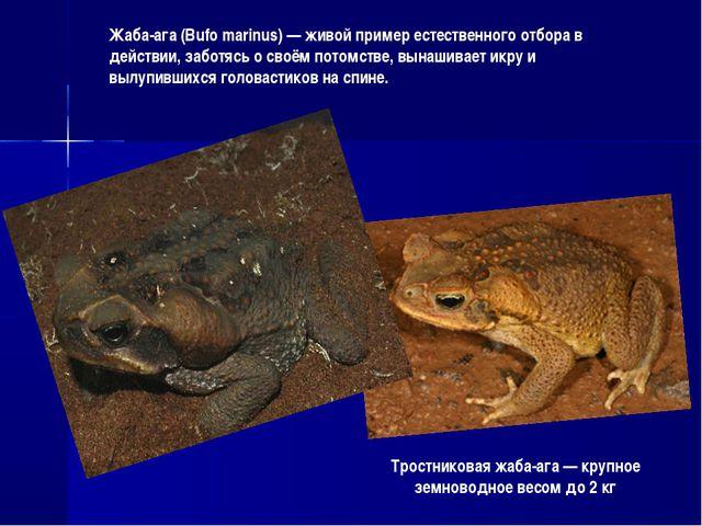 Тростниковая жаба-ага — крупное земноводное весом до 2 кг Жаба-ага (Bufo mari...