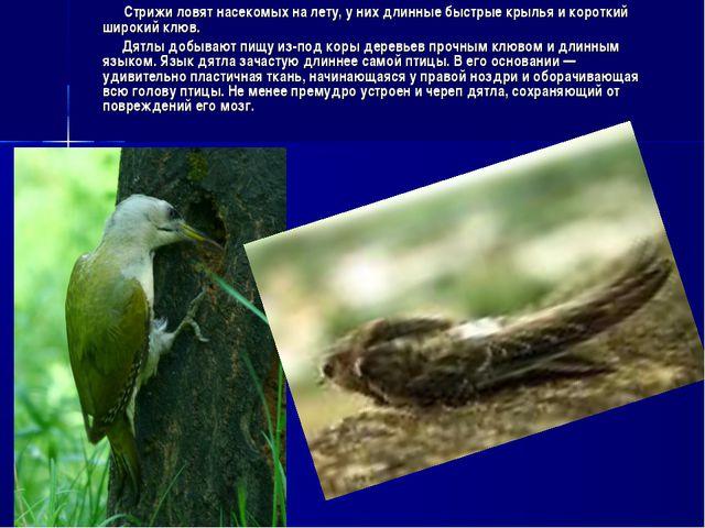 Стрижи ловят насекомых на лету, у них длинные быстрые крылья и короткий широ...