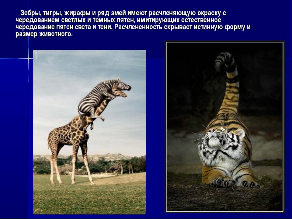 Зебры, тигры, жирафы и ряд змей имеют расчленяющую окраску с чередованием св...
