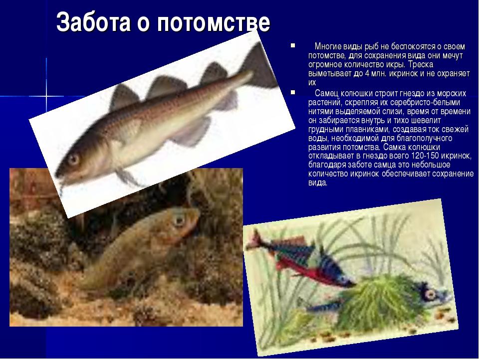 Забота о потомстве Многие виды рыб не беспокоятся о своем потомстве, для сохр...