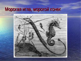 Морская игла, морской конек