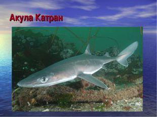 Акула Катран