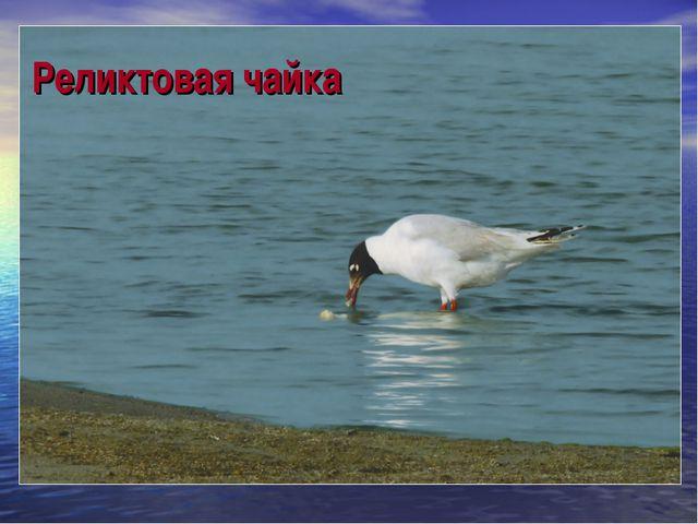 Реликтовая чайка