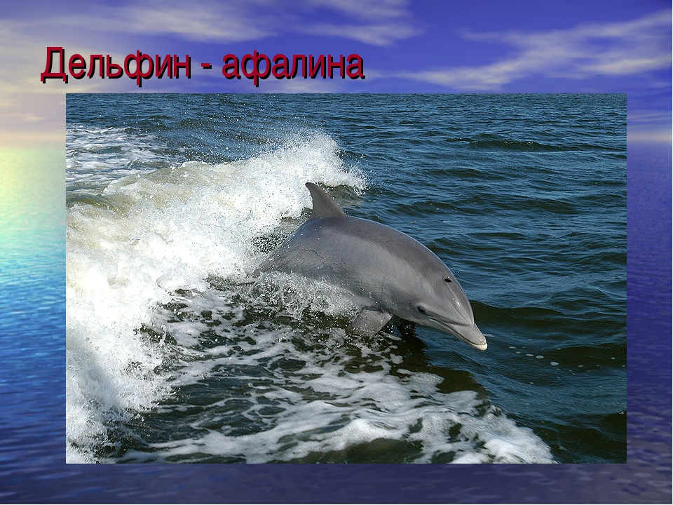 Дельфин - афалина