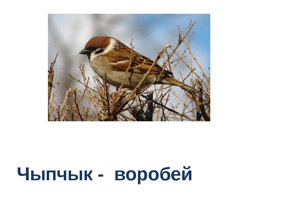 Чыпчык - воробей