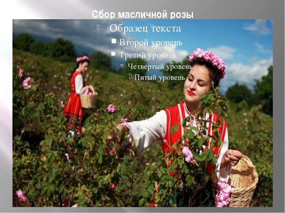 Сбор масличной розы