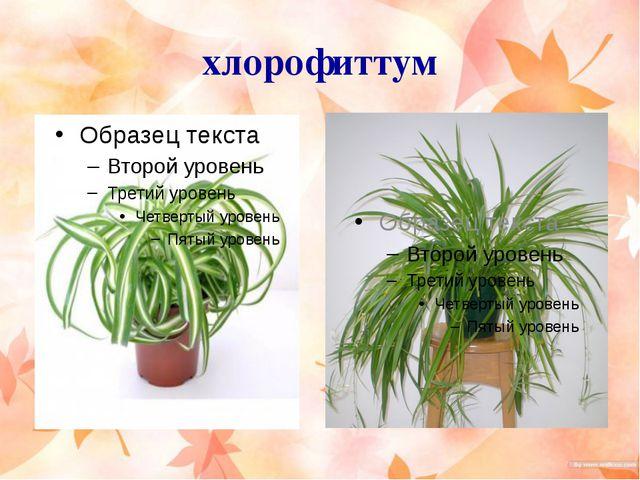 хлорофиттум