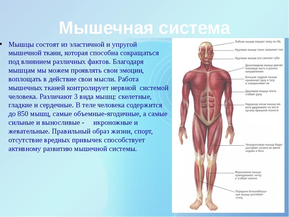 Мышечная система Мышцы состоят из эластичной и упругой мышечной ткани, котора...
