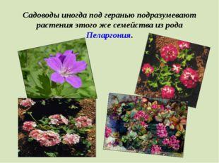 Садоводы иногда под геранью подразумевают растения этого же семейства из рода