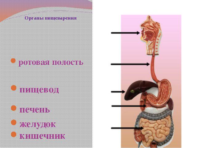 Органы пищеварения ротовая полость пищевод печень желудок кишечник