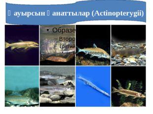 Қауырсын қанаттылар (Actinopterygii)