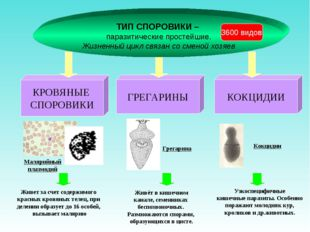 ТИП СПОРОВИКИ – паразитические простейшие. Жизненный цикл связан со сменой хо