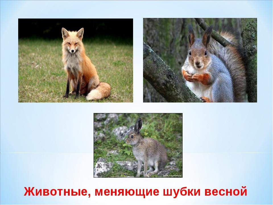 Животные, меняющие шубки весной