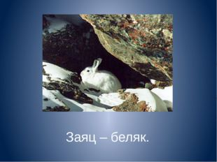 Заяц – беляк.