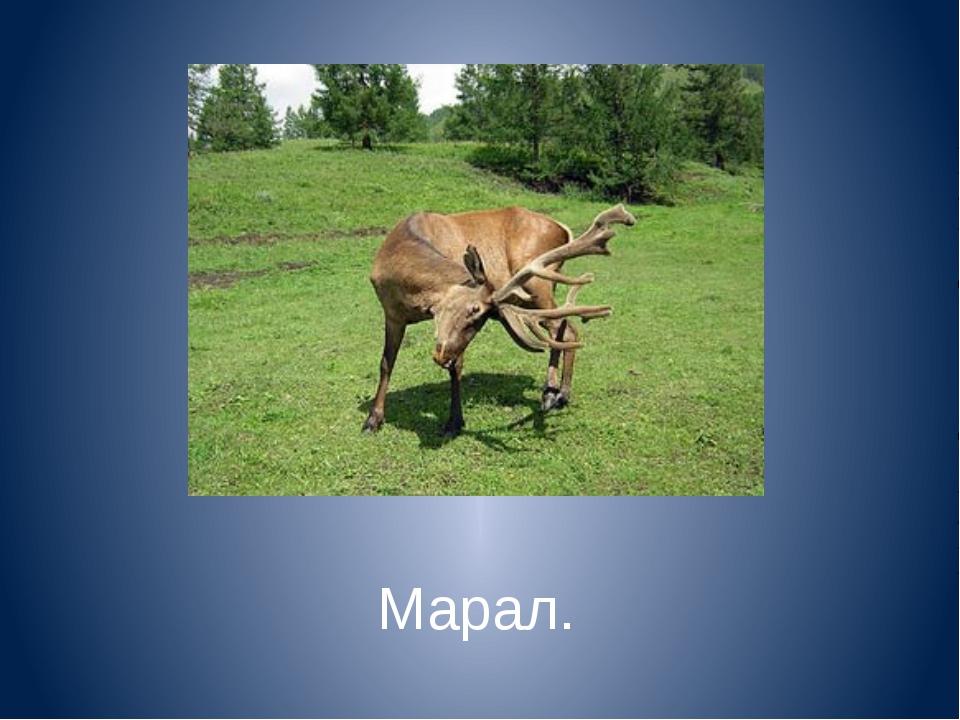 Марал.