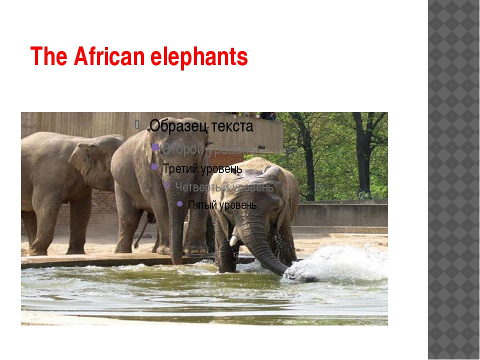 The African elephants