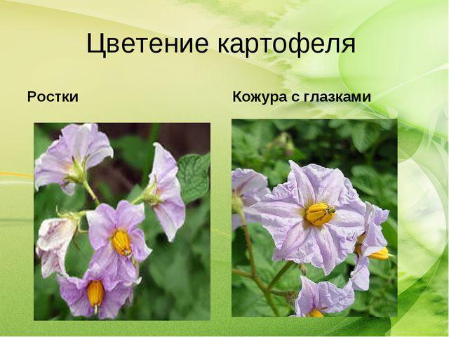 Цветение картофеля Ростки Кожура с глазками