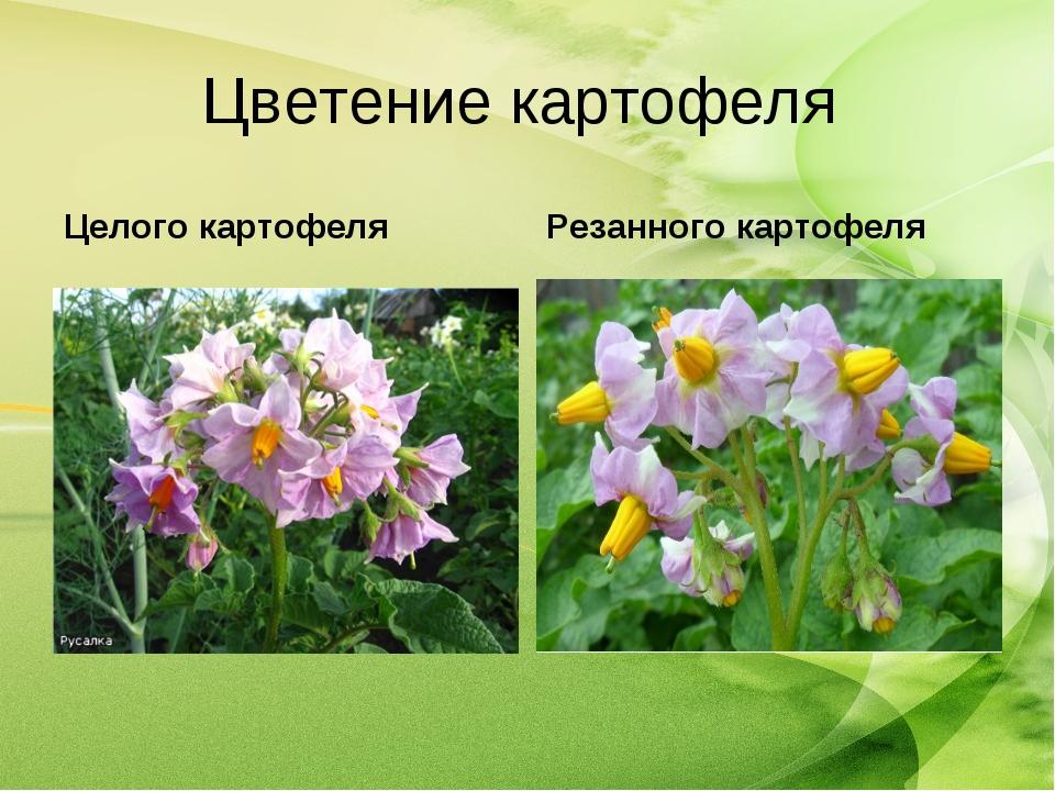 Цветение картофеля Целого картофеля Резанного картофеля