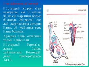 Қан айналым мүшелері Құстардың жүрегі төрт камералы: екі құлақша және екі қар