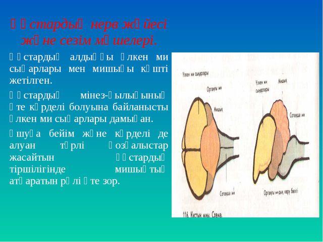 Құстардың нерв жүйесі және сезім мүшелері. Құстардың алдыңғы үлкен ми сыңарла...
