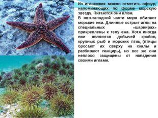 Из иглокожих можно отметить офиур, напоминающих по форме морскую звезду. Пита