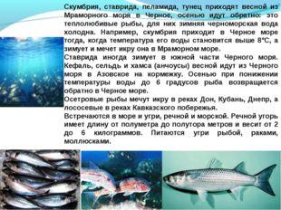 Скумбрия, ставрида, пеламида, тунец приходят весной из Мраморного моря в Черн