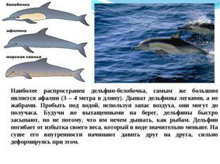 Наиболее распространен дельфин-белобочка, самым же большим является афалин (3