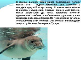В южных районах моря живет белобрюхий тюлень монах. Это – редкое животное, он