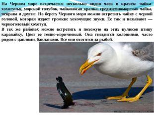 На Черном море встречается несколько видов чаек и крачек: чайка-хохотунья, мо