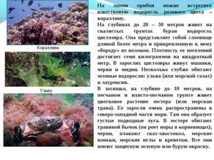 На линии прибоя можно встретить известковую водоросль розового цвета – коралл