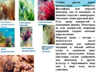 Глубже других живет промысловая водоросль филлофора, или морской виноград, ка