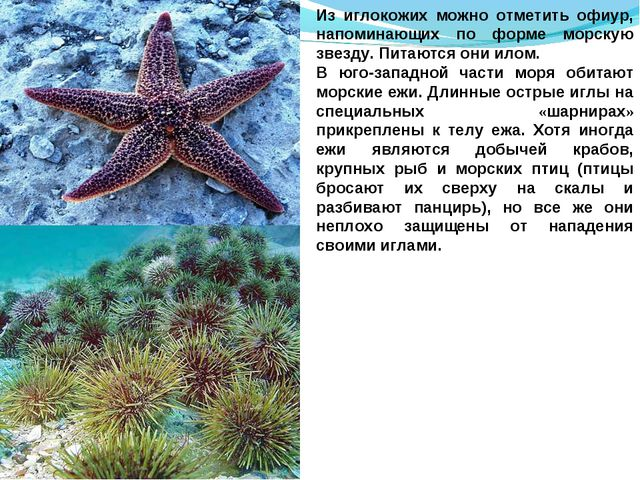 Из иглокожих можно отметить офиур, напоминающих по форме морскую звезду. Пита...