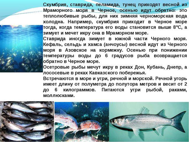 Скумбрия, ставрида, пеламида, тунец приходят весной из Мраморного моря в Черн...