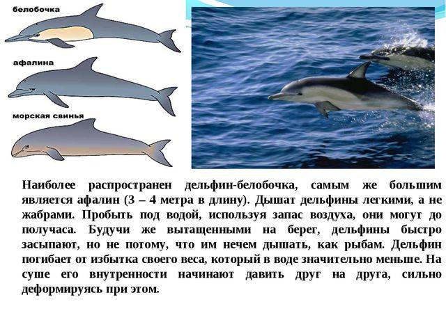 Наиболее распространен дельфин-белобочка, самым же большим является афалин (3...