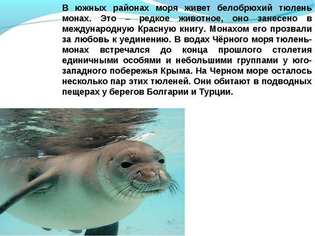 В южных районах моря живет белобрюхий тюлень монах. Это – редкое животное, он...