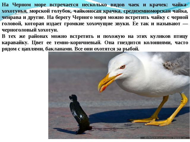 На Черном море встречается несколько видов чаек и крачек: чайка-хохотунья, мо...