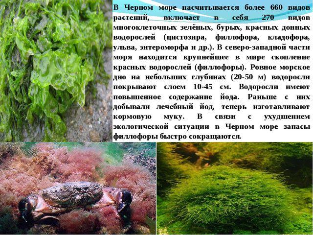 В Черном море насчитывается более 660 видов растений, включает в себя 270 вид...