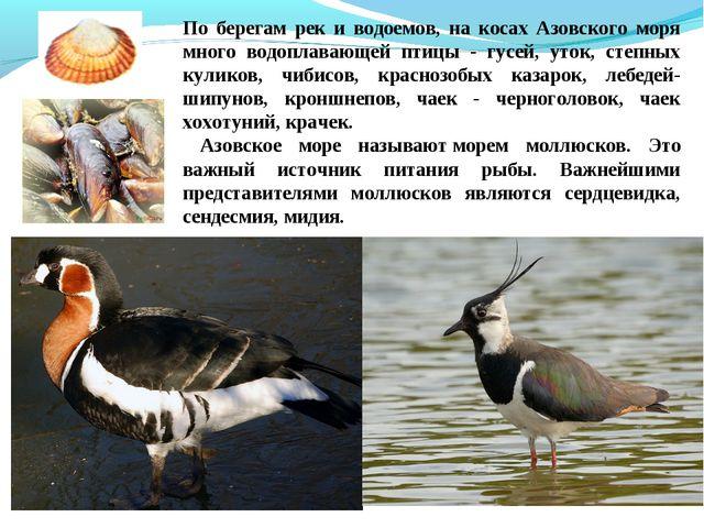 По берегам рек и водоемов, на косах Азовского моря много водоплавающей птицы...