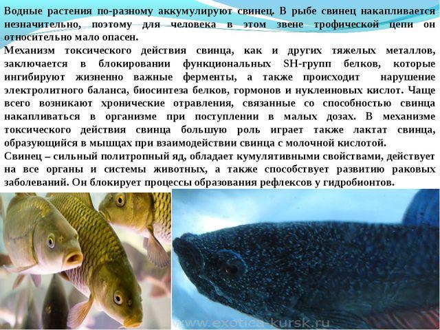 Водные растения по-разному аккумулируют свинец. В рыбе свинец накапливается н...