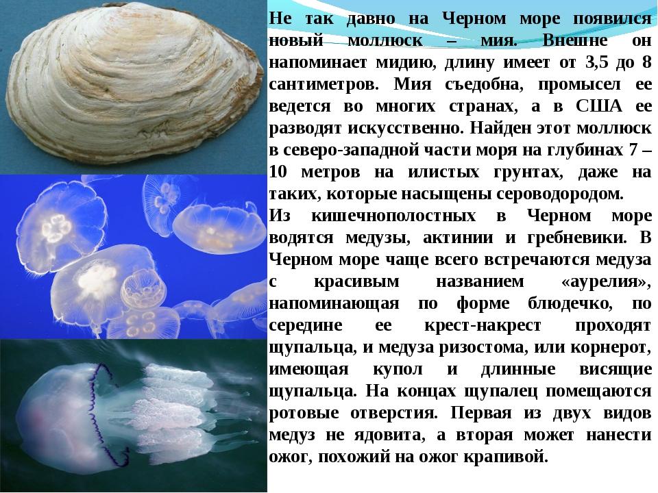 Не так давно на Черном море появился новый моллюск – мия. Внешне он напоминае...