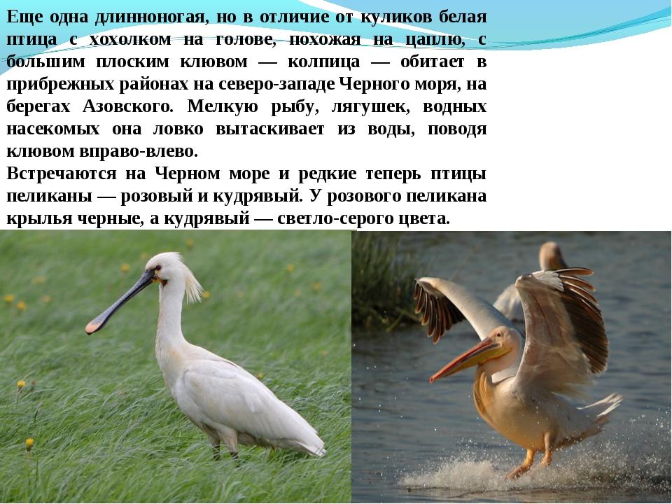 Еще одна длинноногая, но в отличие от куликов белая птица с хохолком на голов...