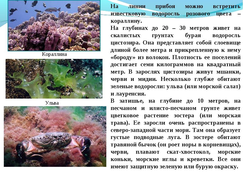 На линии прибоя можно встретить известковую водоросль розового цвета – коралл...