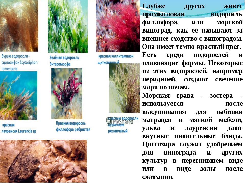 Глубже других живет промысловая водоросль филлофора, или морской виноград, ка...