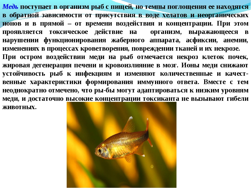 Медь поступает в организм рыб с пищей, но темпы поглощения ее находятся в обр...