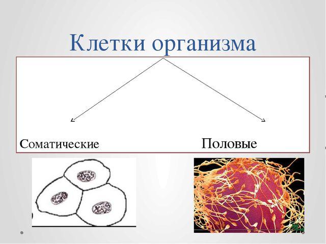 Клетки организма Соматические Половые